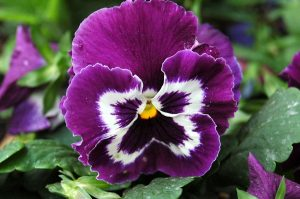 viola morada